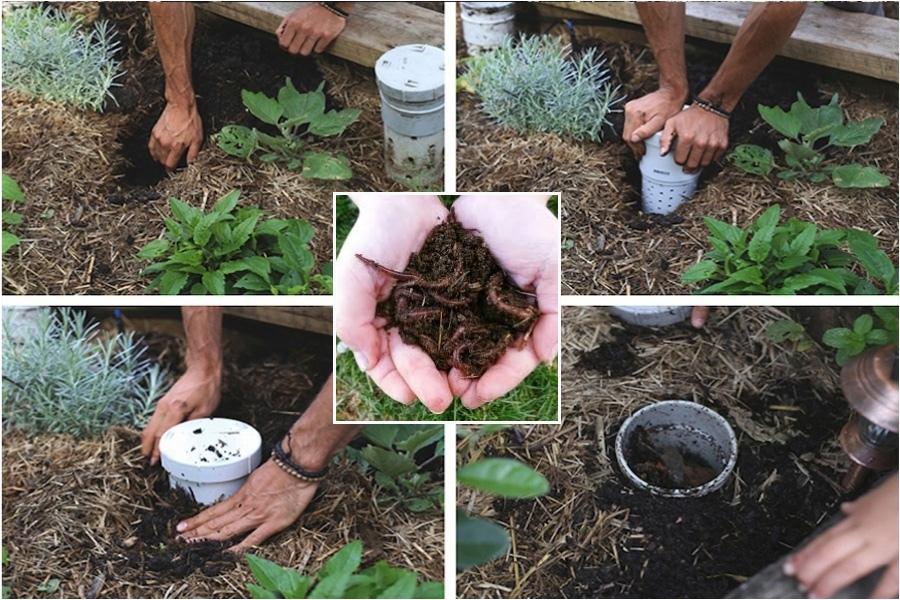 Лучшая подкормка для растений — червячный домик на грядке