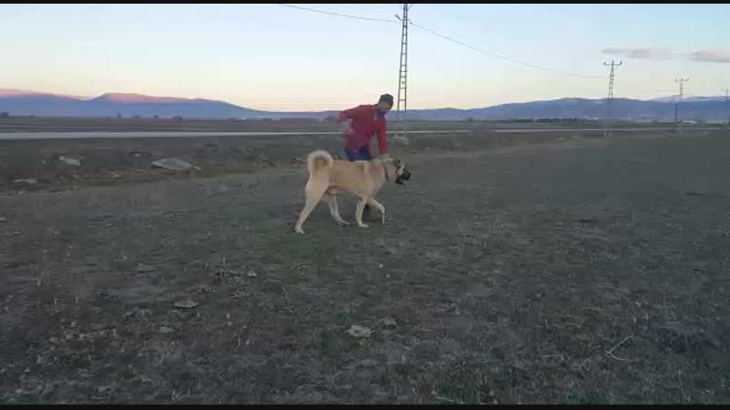 Erzurumdan 23 Aylik Tekci Mavzer vs Kasap