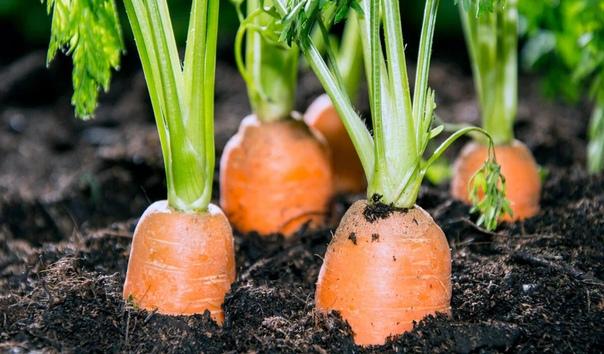 Жалею, что раньше не знала, как подкармливать морковь, чтобы выросла крупной, сочной и сладкой