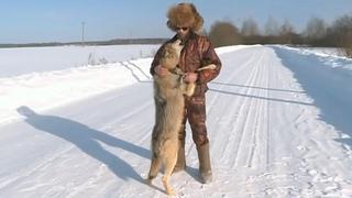 Редкий случай, мужчина спас раненого волка, и теперь он не уходит...