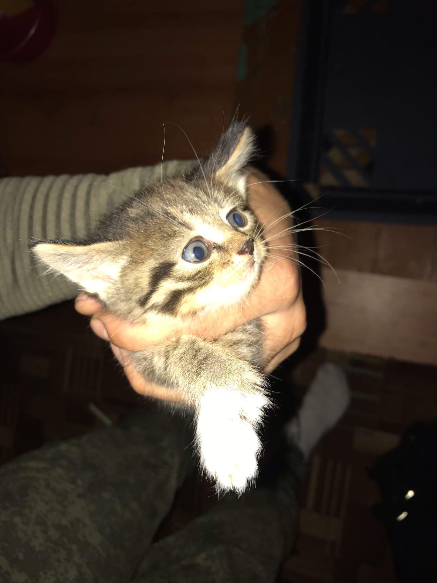 Отдам котят Троя прекрасных малышей ищут дом