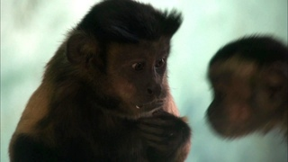 Capuchin monkey fights for equal rights
