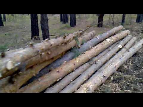 Варварская вырубка молодых сосен в Бердском лесу