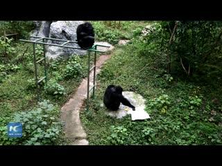 Шимпанзе стирает футболку в тематическом парке Чунцина