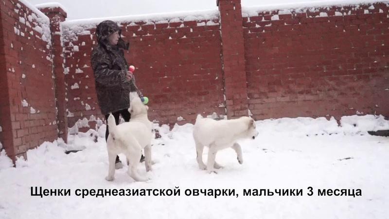 Питомник Алабаев среднеазиатской овчарок Щенкам 3 месяца