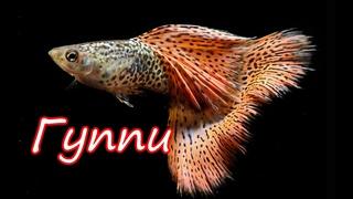 Аквариумная рыбка гуппи/советы по уходу/