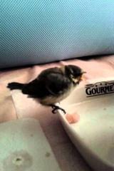 Как накормить птенца синицы