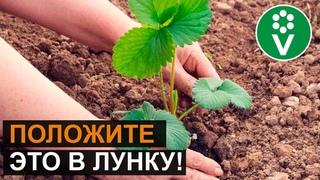 СУПЕР-СПОСОБ ПОСАДКИ КЛУБНИКИ ОСЕНЬЮ. Собирайте урожай ВЕДРАМИ!