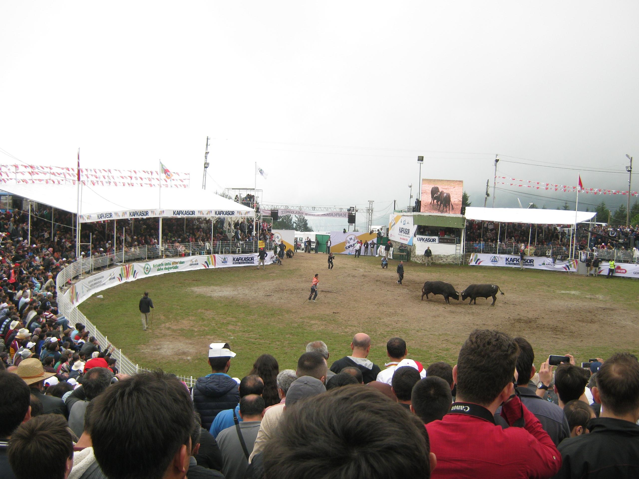 На фестивале Кафкасёр трёх-дневные бои быков