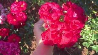 Летняя Обрезка Роз для пышного Цветения