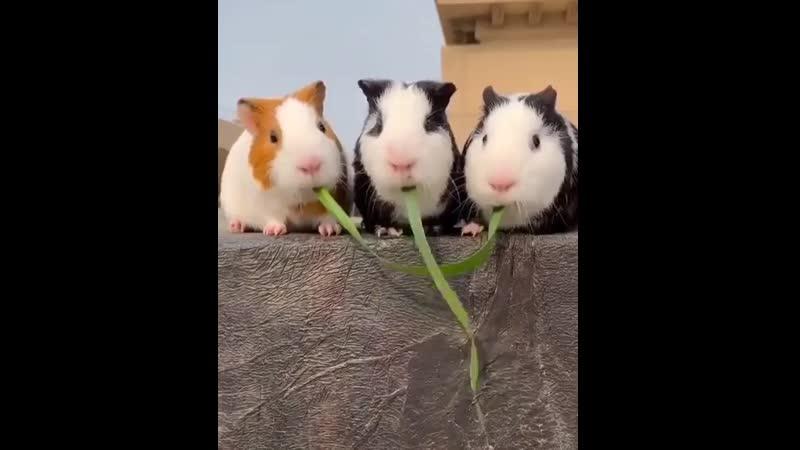 Do-Guinea-Pigs-count.mp4