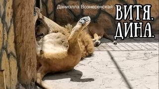 Лев ВИТЯ: я на солнышке лежу!  Life of #lions #animals