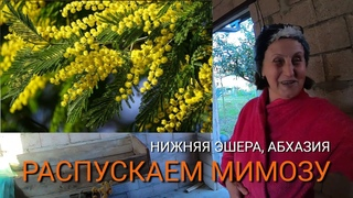 Как распускать мимозу в Абхазии. Сбор и Продажа мимозы в Нижней Эшере.