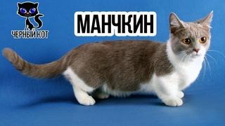 ✔ Коротколапый манчкин - кошка такса