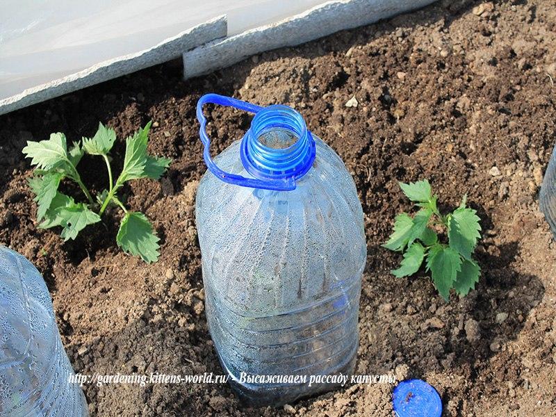 Высаживаем рассаду белокочанной капусты