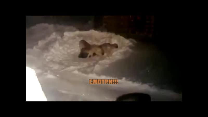 На полуострове Таймыр в городе Дудинка стая волков загрызла собаку