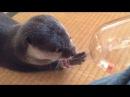 カワウソさくら 普通の餌とジャーキーの反応の違い! Difference between jerky and food by otter