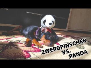 Борцуха-братуха (Цвергпинчер VS. Панда) • Zwergpinscher vs. Panda