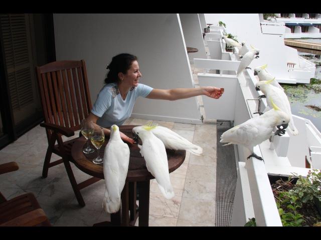 Попугаи Какаду о Хайман Большой Барьерный Риф Австралия Parrots Cockatoo Great Barrier Reef