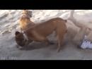 прекол зі дівченою і псом вона зогнала пса а він її закопує у піску