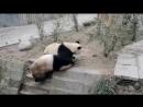 Интернет-пользователей покорила битва настоящих кунг-фу панд (видео)