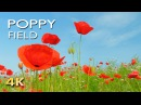 4K Poppy Meadow Birdsong Relaxing Nature Sounds Video UHD Meditation Sleep Study Yoga