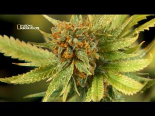 Взгляд изнутри: марихуана / national geographic inside: marijuana (2008)