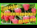 Как посадить ремонтантный сорт малины Брянское диво, ремонтантный сорт.