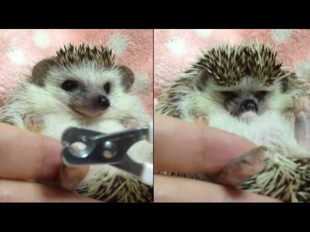 ハリネズミのえびす丸 025 つめきりこわい & マッサージ Hedgehogs Nail Clipping Massage