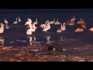 Операция МЧС России по спасению лебедей