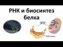 5. РНК и синтез белка 9 или 10-11 класс - биология, подготовка к ЕГЭ и ОГЭ 2018
