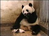 панденок чихает =)))) ну очень милое и смешное видео...!!!