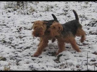 Welsh Terriers meet New 2018.