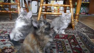 Норвежские лесные котята Барбара, Белла, Белинда, Беата и Базилио