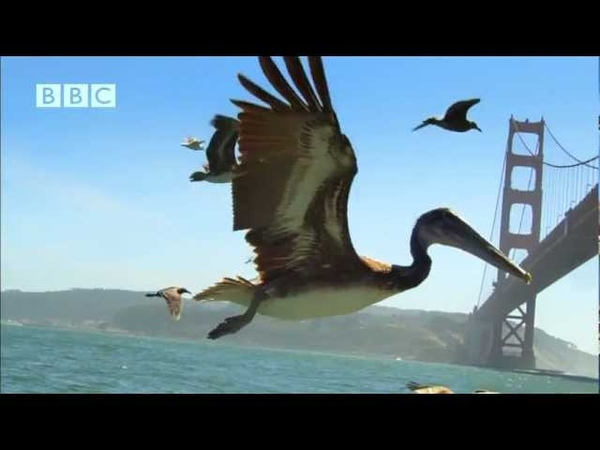 Earthflight - Beautiful flight of Pelicans past Golden Gate Bridge and Alcatraz (David Tennant)
