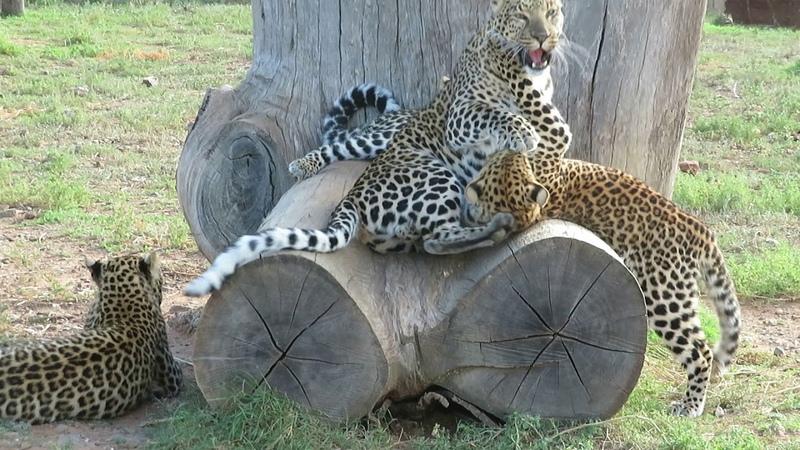 Котята-девочки атаковали маму-леопарда [Babette De Jonge]