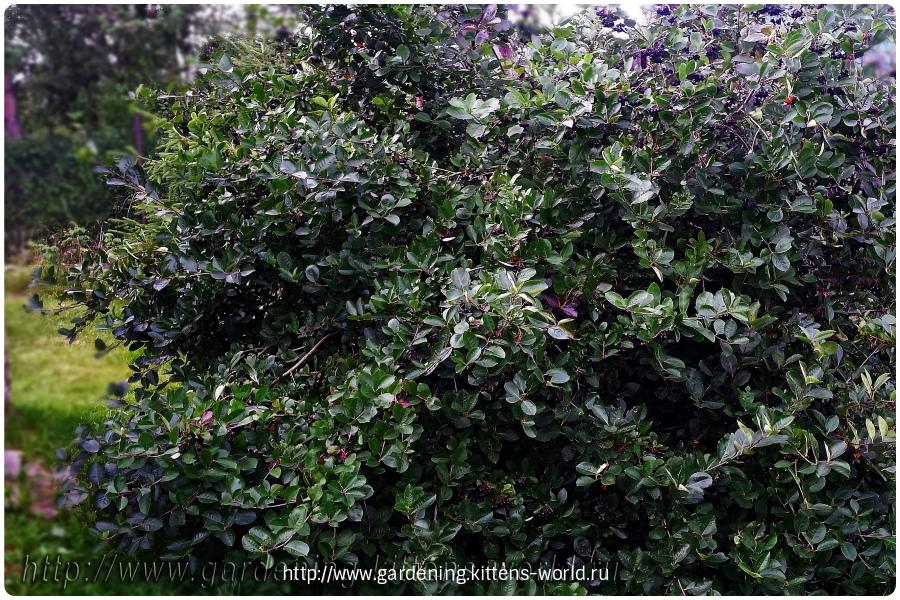 Выращивание, уход и обрезка аронии-кусту нужна обрезка
