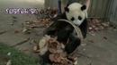 Смешные медвежата панда. funny panda bear cubs.