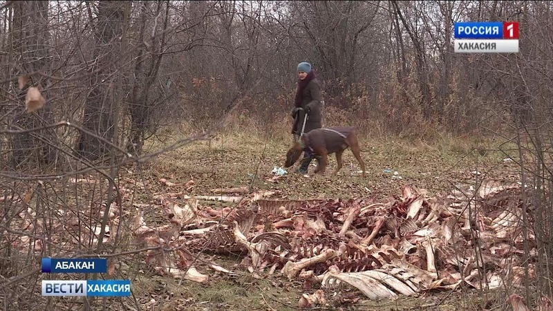 Огромное количество костей крупного рогатого скота было обнаружено сегодня на окраине Абакана