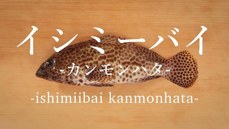 イシミーバイ〈カンモンハタ〉のさばき方 - How to filet Honeycomb grouper -|日本さばけるプロジェクト