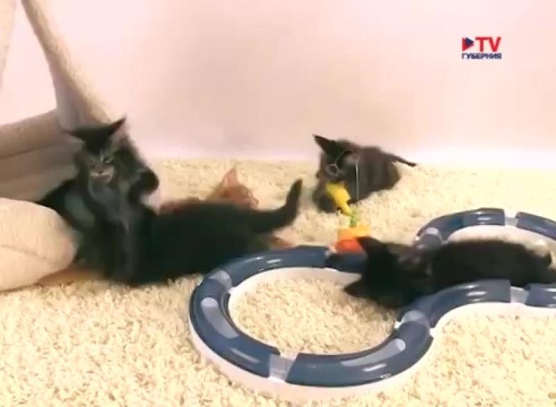 Всё о котах породы мейн кун