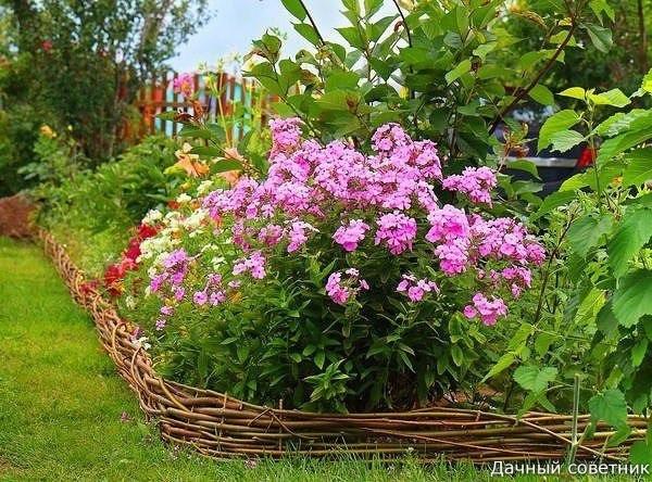 Флоксы  желанные гости для любого цветника!