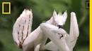 Incredible Disguise Praying Mantis Mimics Flower National Geographic