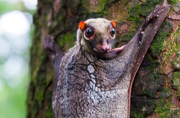 На фото малайский шерстокрыл (Galeopterus variegatus цепляется за дерево во влажных джунглях Борнео. Также он обитает в Таиланде, на Малайском полуострове и различных островах Индонезийского