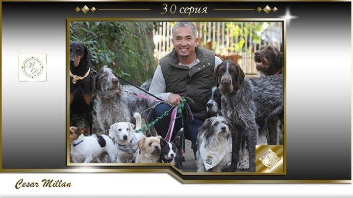 30 серия Сезар Миллан Переводчик с собачьего Buddy Teddi Matilda