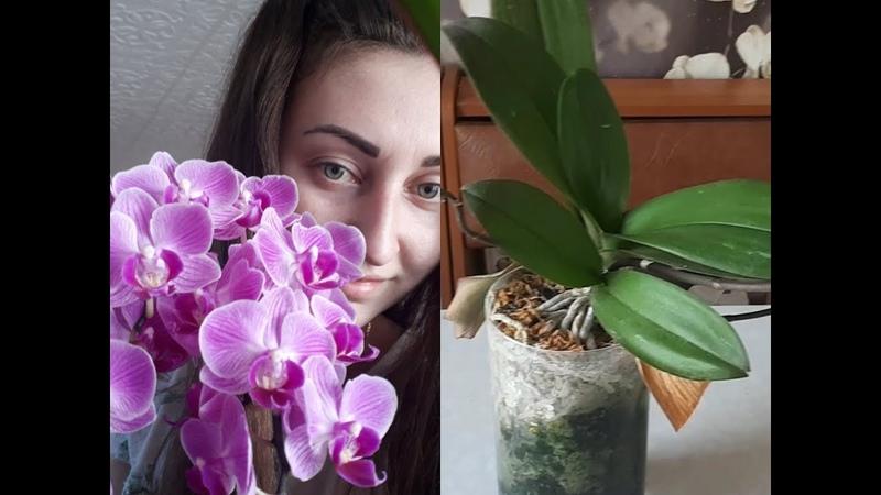 отделяю прикорневую ДЕТКУ орхидеи МУЛЬТИФЛОРЫ/ сажаю в керамзит/отрезаю шейку орхидеи, ЗАЧЕМ?