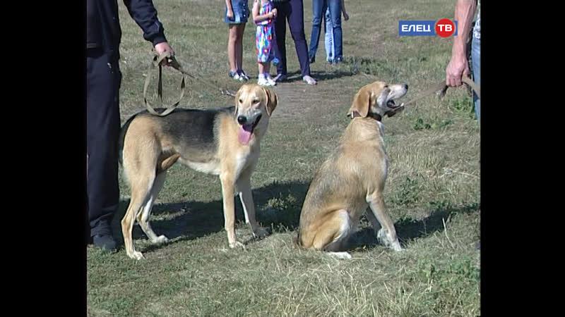 Золотой экстерьер: ко Дню города в Ельце прошла выставка родословных охотничьих собак