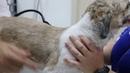 Новообразование левого глаза у старой собаки / An old dog has infected and painful red left eye - eyelid neoplasia