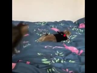 кот играет с сурком