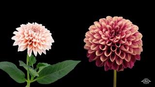 Blooming Flowers Timelapse